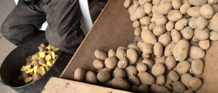 Siembra de patatas